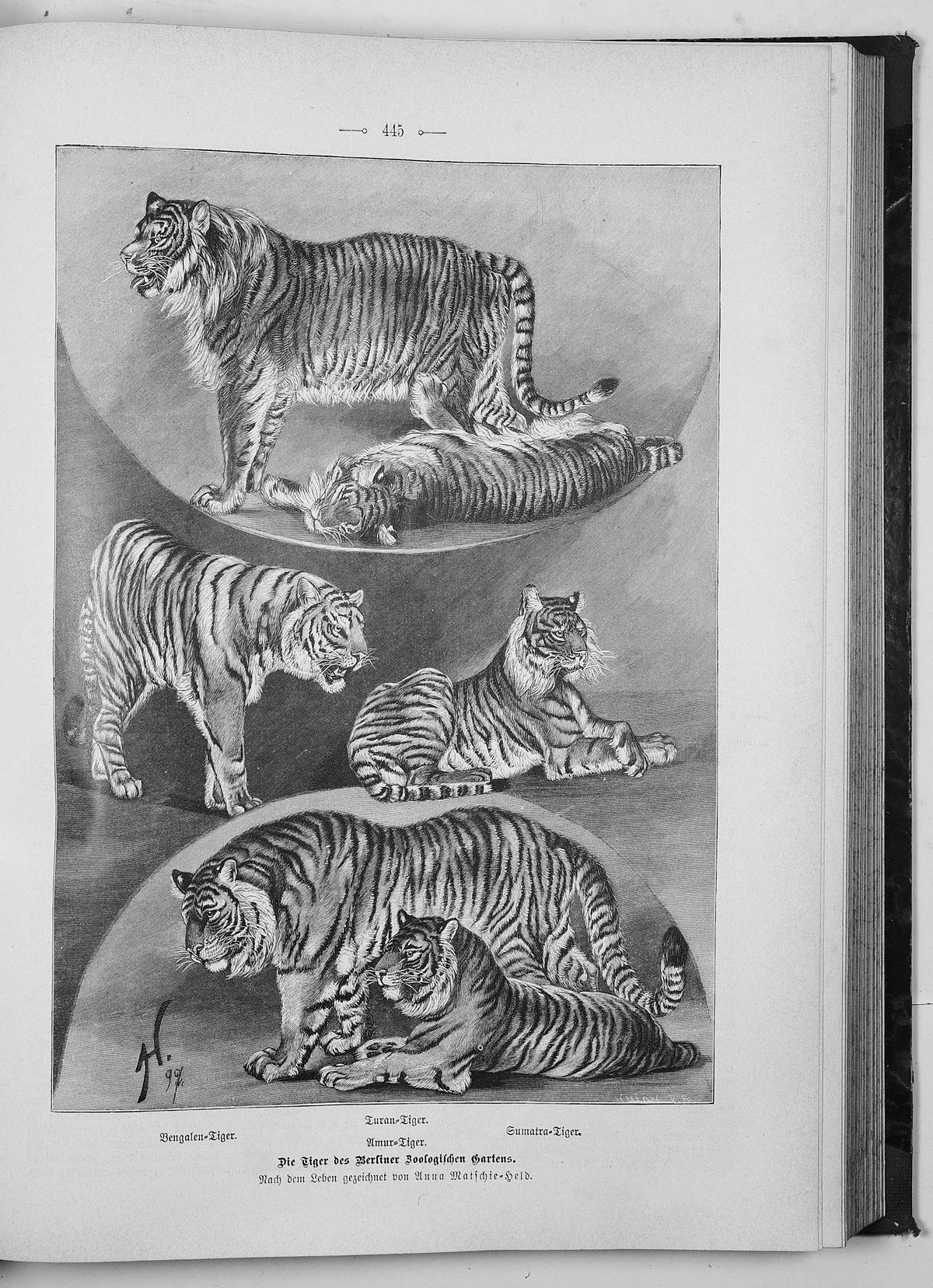 Siberian Tiger Introduction Project - Wikipedia