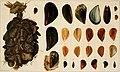 Die Mytiliden des Golfes von Neapel und der angrenzenden Meeres-Abschnitte, I. Teil (1902) (20746498480).jpg