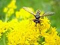 Diptera (2739819950).jpg