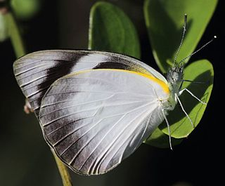 <i>Appias epaphia</i> Species of butterfly