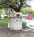Dog in Gyumri 2.jpg