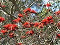 Domaine du Rayol - Erythrina lysistemon (flowers).jpg