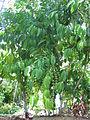 Dominica cocoa2.JPG