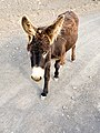 Donkey in the Natural Park of Jandia on Fuerteventura, Canary Islands (51124150130).jpg