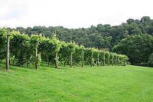 Dornfelder - A vineyard of Dornfelder vines in Devon County in southwest England.