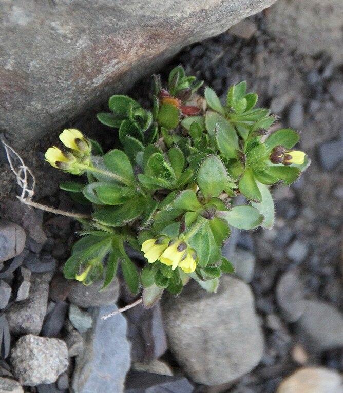 File:Draba alpina IMG 4127 gullrublom longyearbyen.jpg - Wikimedia ...