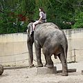 Drezura slonů v Pražské zoo 8373.jpg