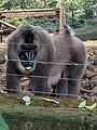 Drill, Limbe wildlife centre.jpg
