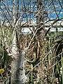 Drimia altissima KirstenboschBotGard09292010overview.JPG