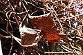 Dry leaves (02).jpg