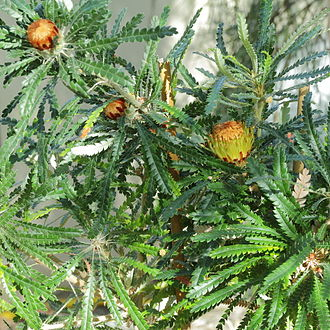 Gondwana - Banksia, a grevilleoid Proteaceae, is an example a plant with a Gondwanan distribution