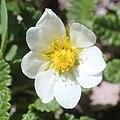 Dryas octopetala var. asiatica (flower s4).jpg