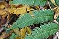 Dryopteris goldiana SCA-3232.jpg