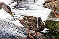 Duck (43837528132).jpg