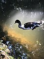 Duck Fly.jpg