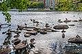 Ducks (28356515759).jpg