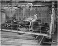 Ducks and greater yellowlegs in a cage - NARA - 283812.tif
