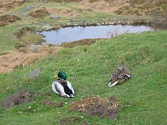 On Ilkla Moor Baht 'at - Ducks on Ilkley Moor, as in the song