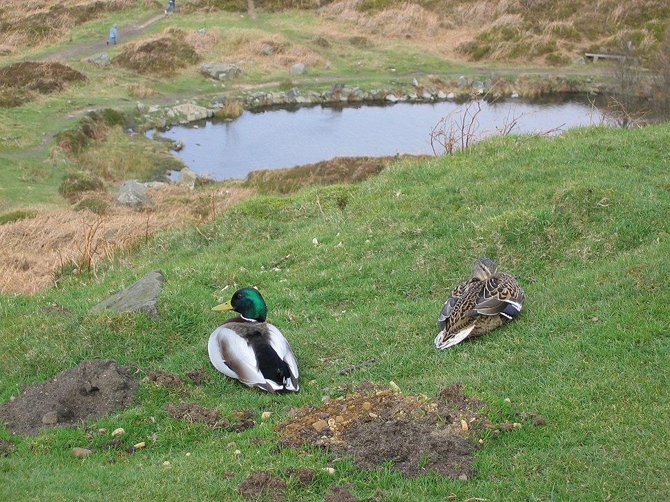 Ducks on Ilkla Moor