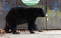 Dumpster diving bear Asheville 1.jpg