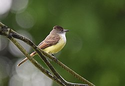 Dusky-capped Flycatcher (25018910202).jpg