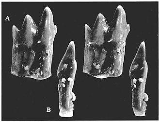 Dyskritodon - Teeth