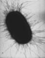E. coli fimbriae.png