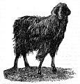 EB1911 Nubian Goat.jpg
