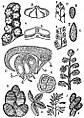 EB1911 Palaeobotany - Palaeozoic fructifications of Ferns or Pteridosperms.jpg