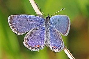 Eastern Tailed-blue - Cupido comyntas, Julie Metz Wetlands, Woodbridge, Virginia - 6891052260.jpg