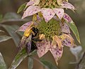 Eastern carpenter bee on spotted bee balm (70436).jpg