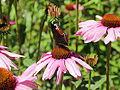 Echinacea purpurea-IMG 5668.jpg