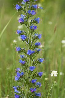 <i>Echium vulgare</i> species of flowering plant