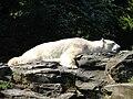 Eisbär (Ursus maritimus), Tierpark Berlin, 15 Mai 2008.jpg