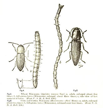 Click beetle - Click beetle adults and larvae (wireworms) Left: Wheat Wireworm (Agriotes mancus) Right: Sand Wireworm (Horistonotus uhlerii)