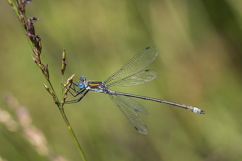 File:Emerald damselfly (Lestes sponsa) male 3.jpg