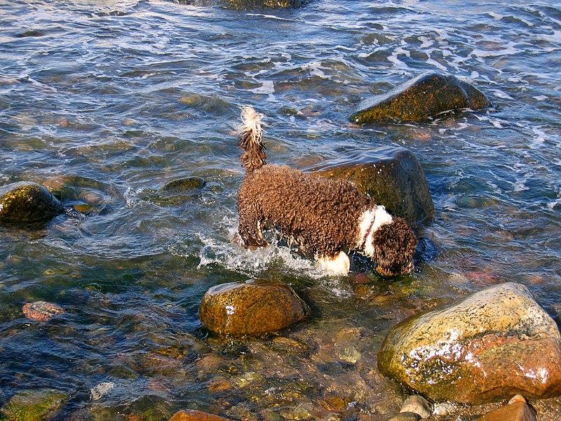 perro de agua español en el agua