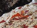 Emperor shrimp (Periclimenes imperator) (23806552904).jpg