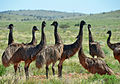 Emu mob set free.jpg