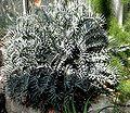 Encephalartos horridus - Palmengarten Frankfurt.jpg