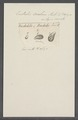 Enchelis ovulum - - Print - Iconographia Zoologica - Special Collections University of Amsterdam - UBAINV0274 113 13 0004.tif