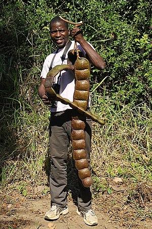 Entada rheedii - Mature pod in Mozambique