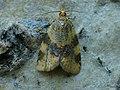 Epagoge grotiana - Brown-barred tortrix (41281703192).jpg