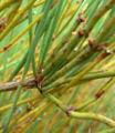 Ephedra californica 2.jpg