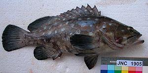 Whitespotted grouper - Image: Epinephelus coeruleopunctatus New Caledonia