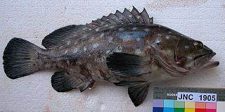 Whitespotted grouper species of fish