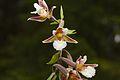 Epipactis palustris 2 Estonia.jpg