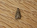 Epipaschiinae sp. (5163455623).jpg