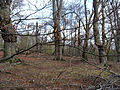Epping Forest-Beech buds-387.JPG