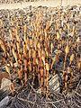 Equisetum arvense subsp. arvense sl4.jpg